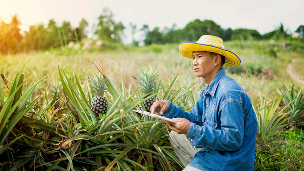 Farmer in Pineapple Field